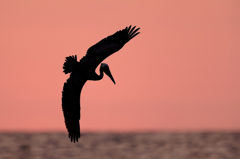clemens-Brown-Pelican-silhouette-pink-sky_F0A2180-Fort-de-Soto-Florida-USA