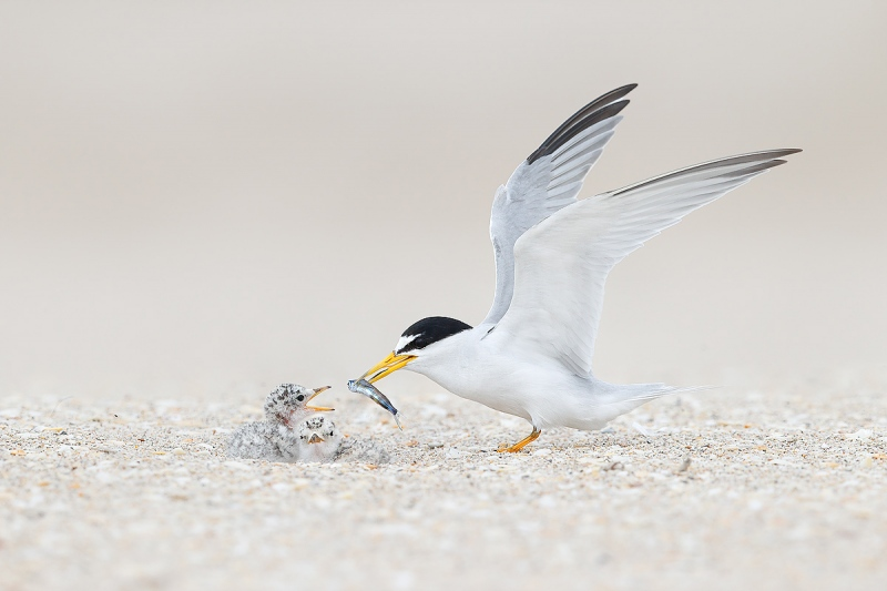 clemens-Least-tern-offering-fish-to-chick_74I9638-Pompano-Beach-Florida-USA