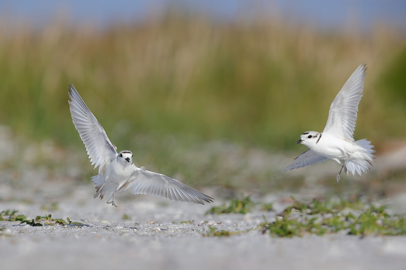 clemens-Snowy-plover-fight-on-the-beach_F0A0350-Fort-de-Soto-Tierra-Verde-Florida-USA