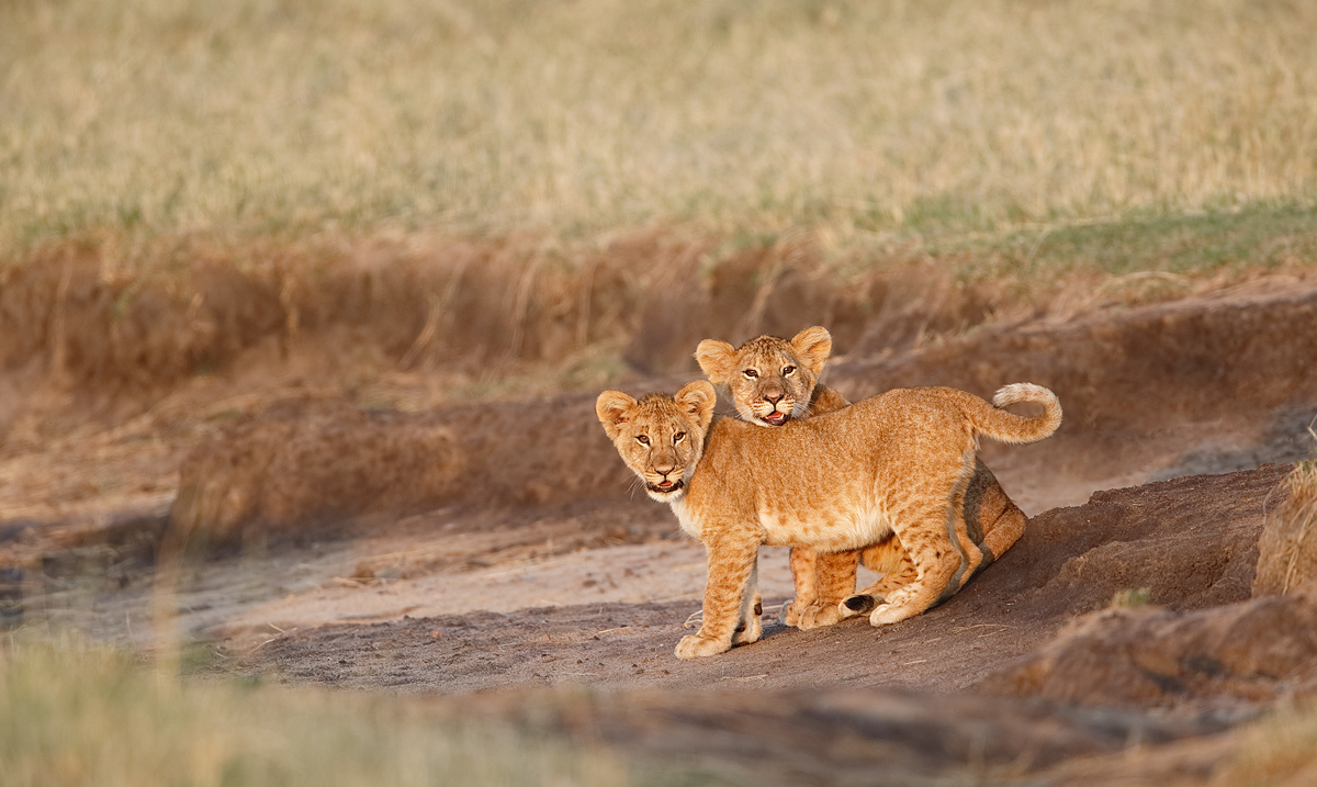 african-lion-cubs-by-stream-_y7o4612-mobile-tented-camp-mara-river-serengeti-tanzania