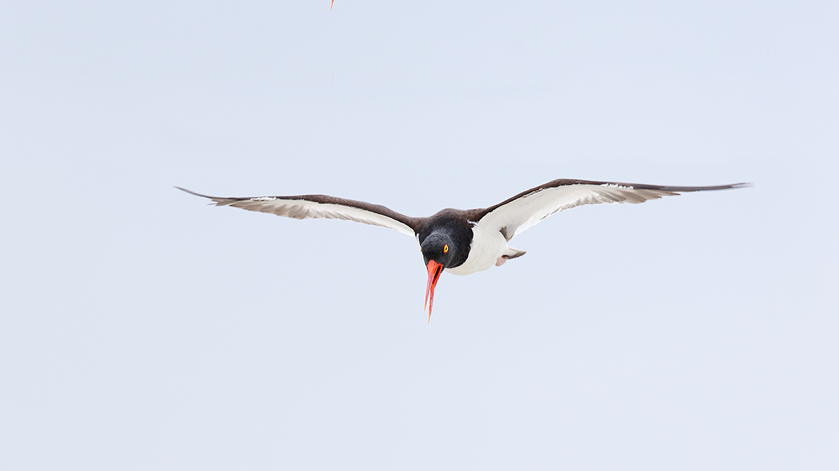 american-oystercatcher-display-flight-imgl8536-nickerson-beach-li-ny