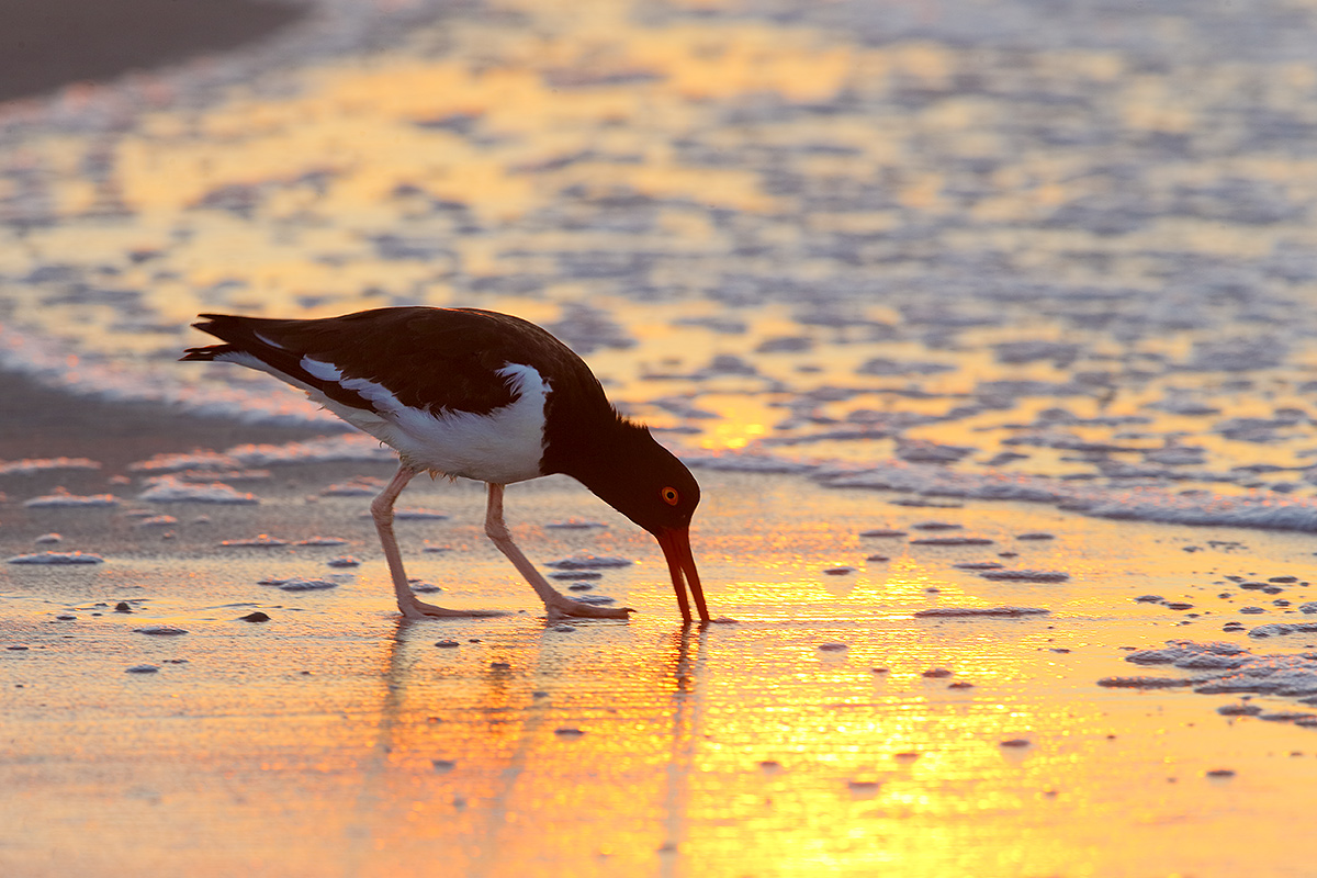 american-oystercatcher-feeding-at-dawn-_y5o4180-nickerson-beach-li-ny