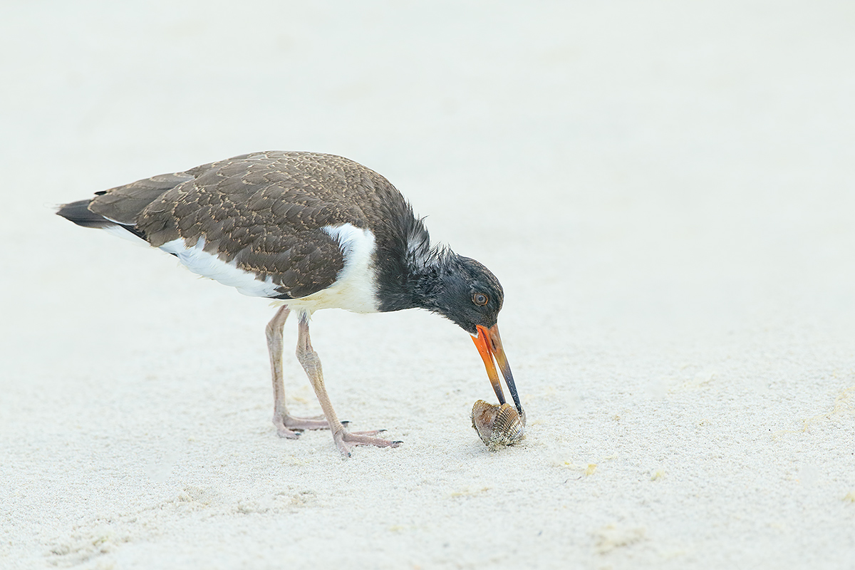 american-oystercatcher-fledged-young-opening-mollusk-_y5o7506-nickerson-beach-li-ny