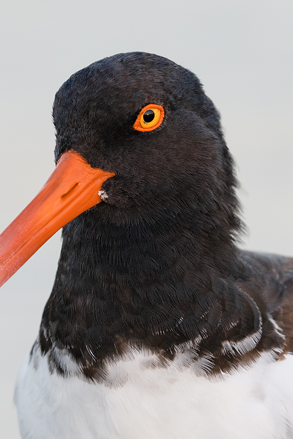 american-oystercatcher-head-and-hood-7d-ii-iso-1600-_36a8884-fort-desoto-county-park-pinellas-fl