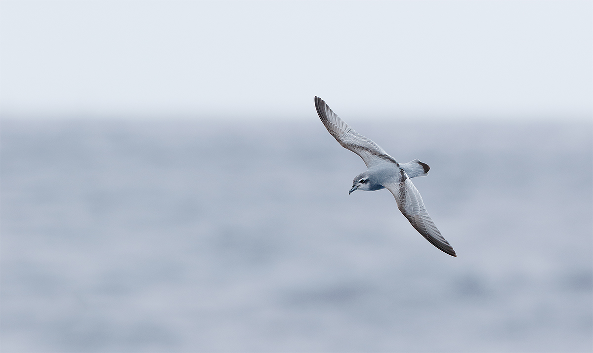antarctic-prion-_y8a0552-drake-passage-southern-ocean