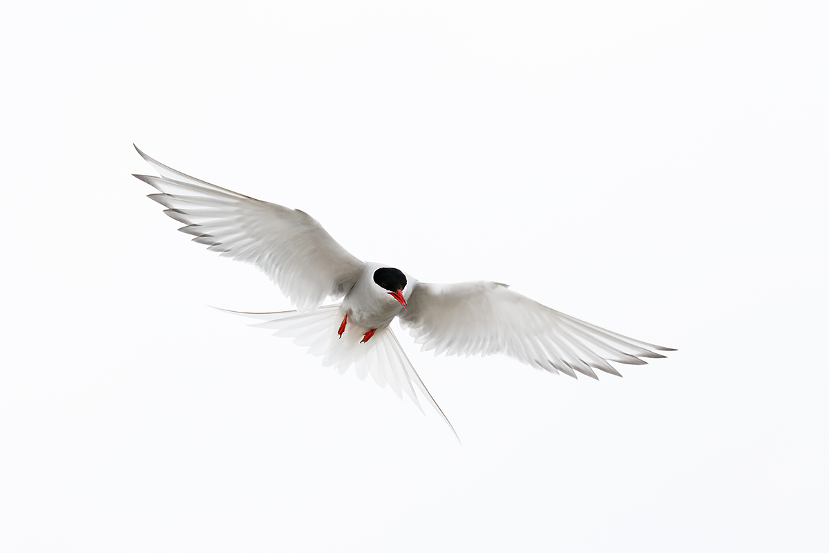 arctic-tern-hovering-_y8a0008-seabird-islands-off-seahouses-uk