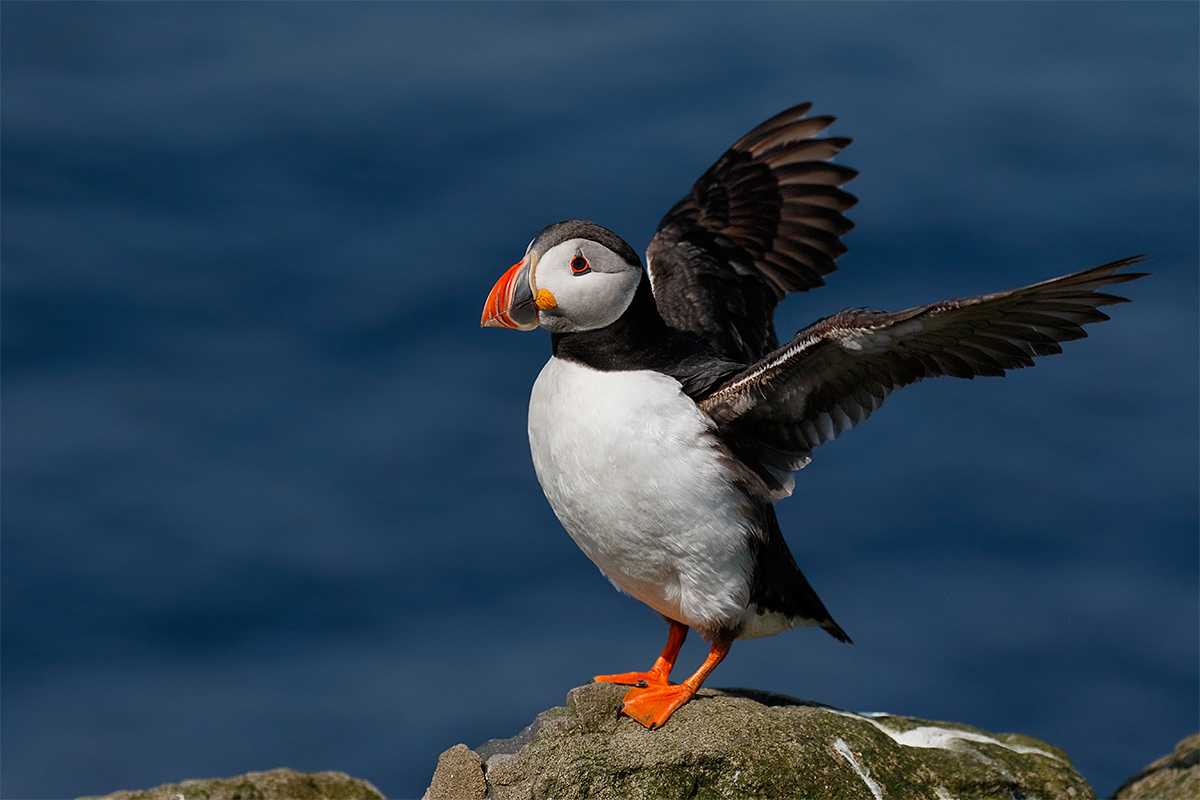 atlantic-puffiin-flapping-_y8a8670-seabird-islands-off-seahouses-uk
