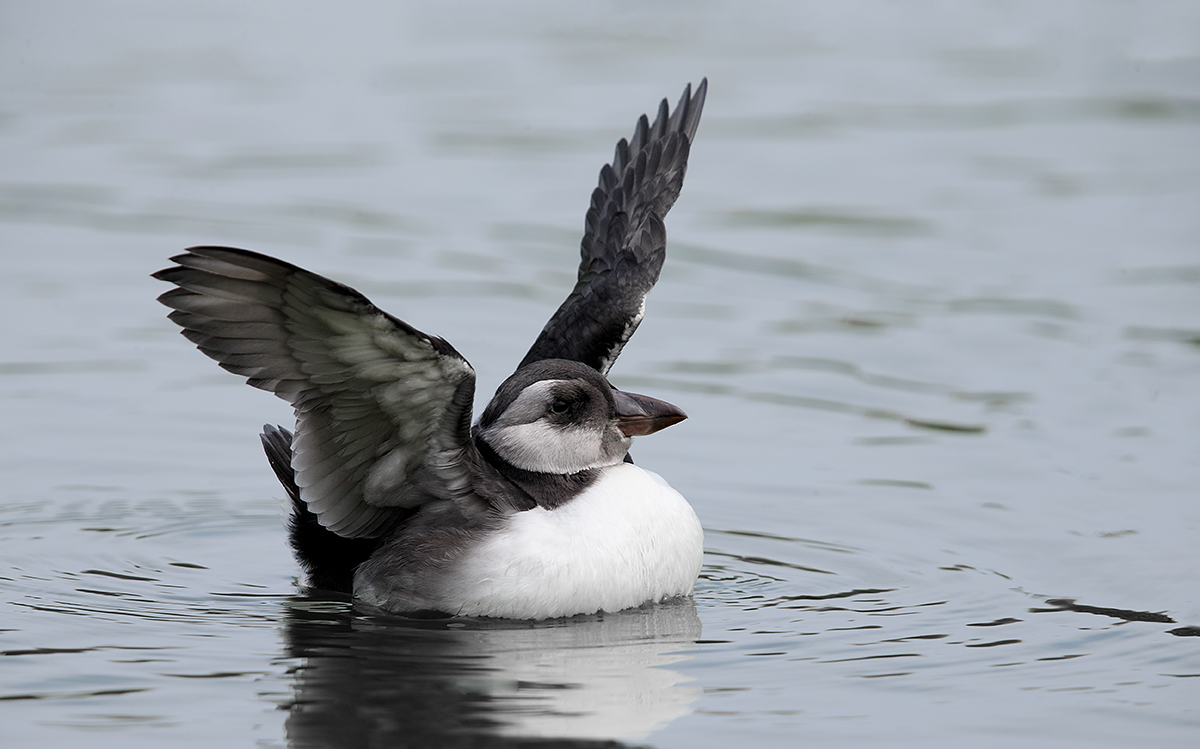 atlantic-puffin-fledgling-flapping-final-_y5o7257-islands-off-seahouses-uk