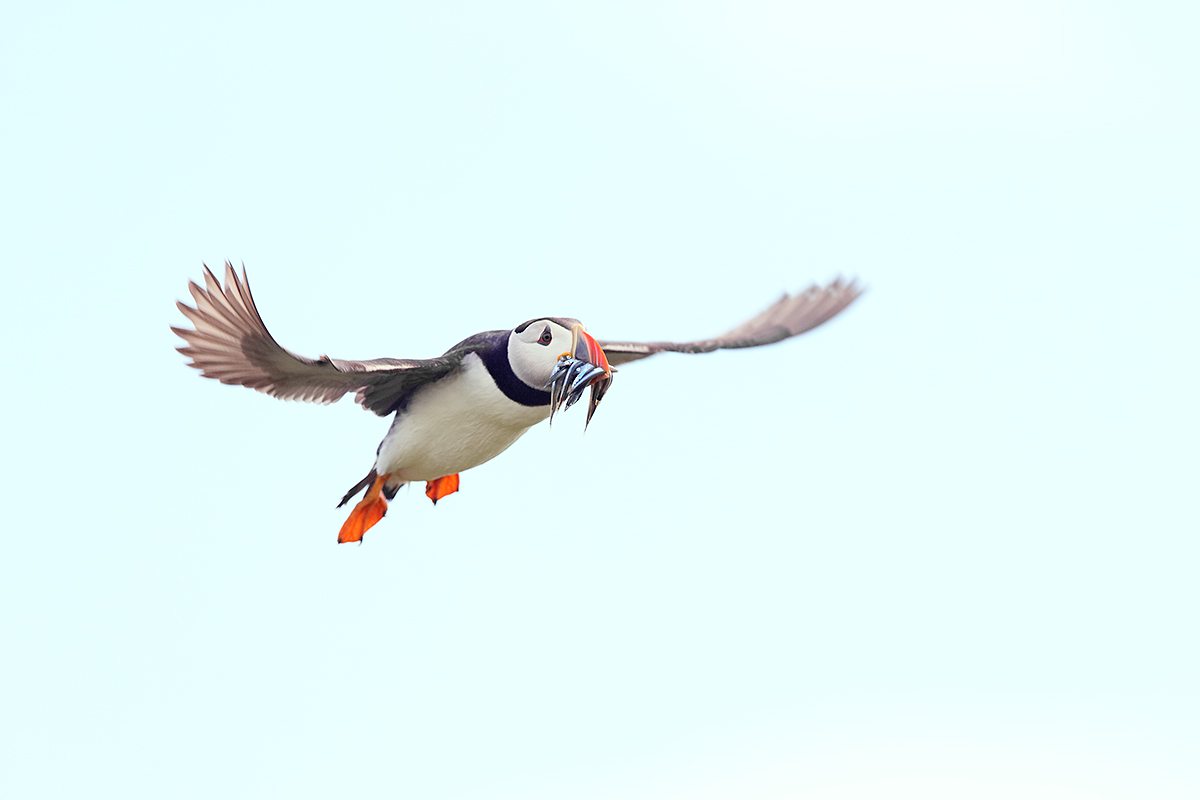 atlantic-puffin-in-flight-with-fish-_y7o6283-seabird-islands-off-seahouses-uk