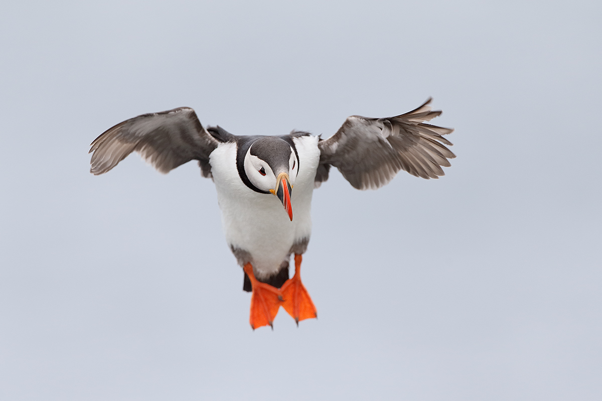atlantic-puffin-incoming-_y5o3901-seabird-islands-off-seahouses-uk title=