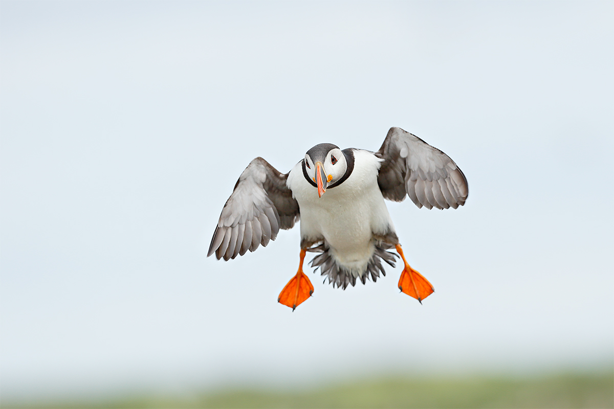 atlantic-puffin-incoming-flight-_y7o7181-seabird-islands-off-seahouses-uk