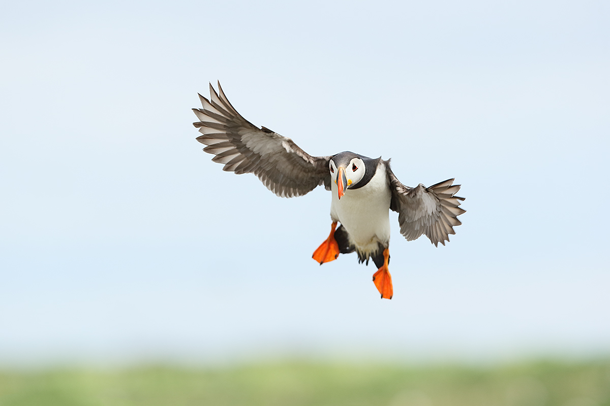 atlantic-puffin-landing-_y7o7203-seabird-islands-off-seahouses-uk title=