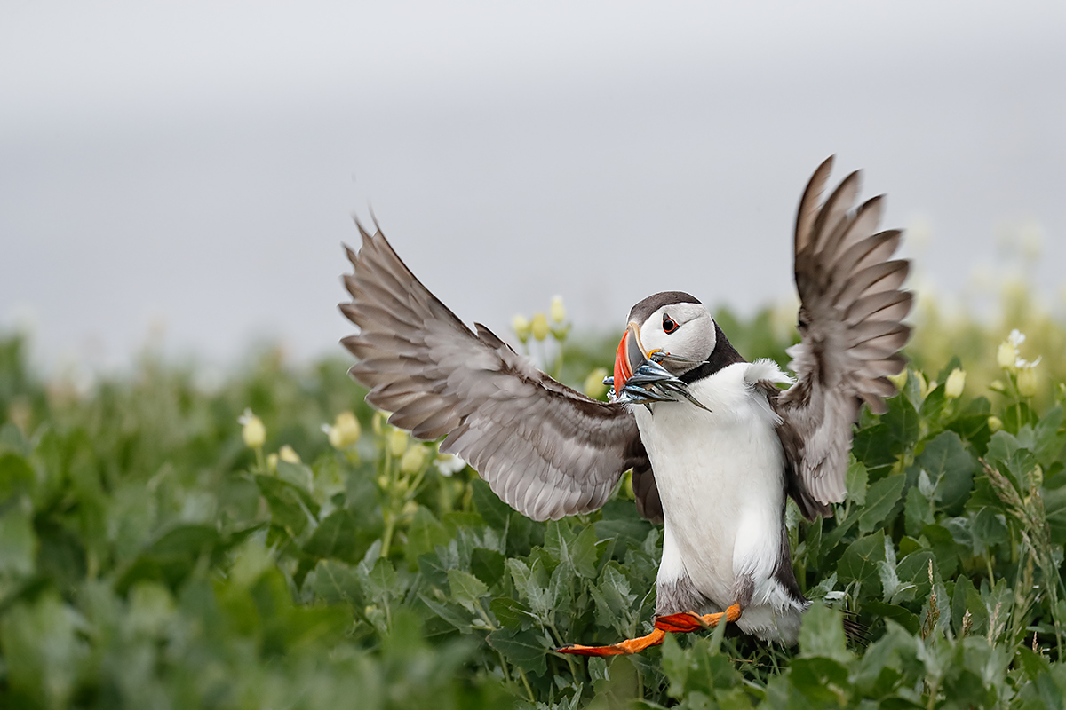atlantic-puffin-landing-near-burrow-with-fish-_a0i0189-seahouses-uk
