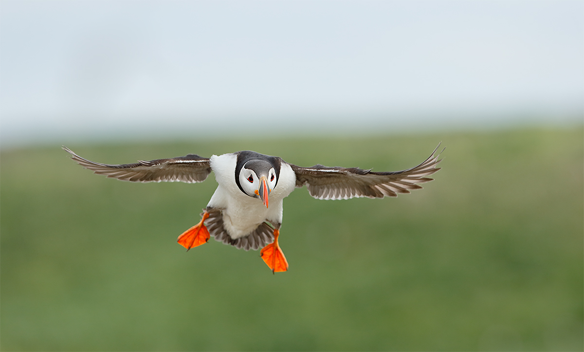 atlantic-puffin-on-final-approach-_y7o7168-seabird-islands-off-seahouses-uk
