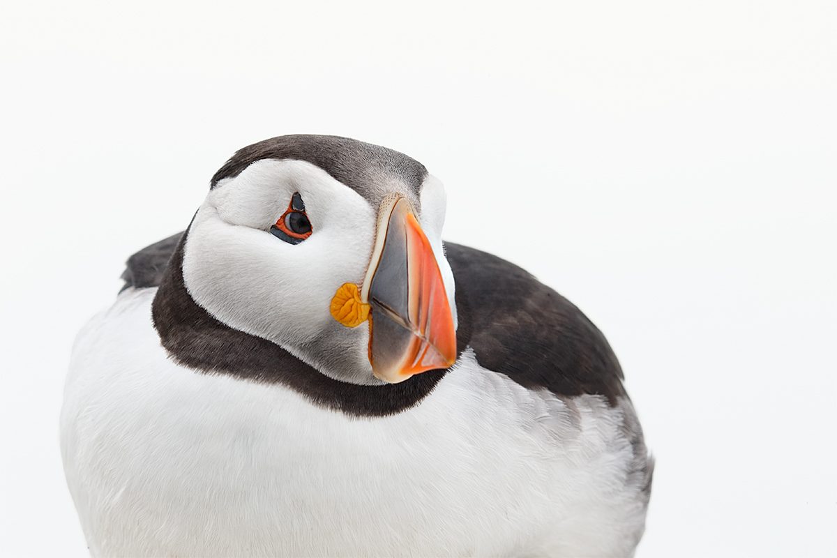 atlantic-puffin-tight-horz-_y5o6640-seabird-isles-off-seahouses-uk
