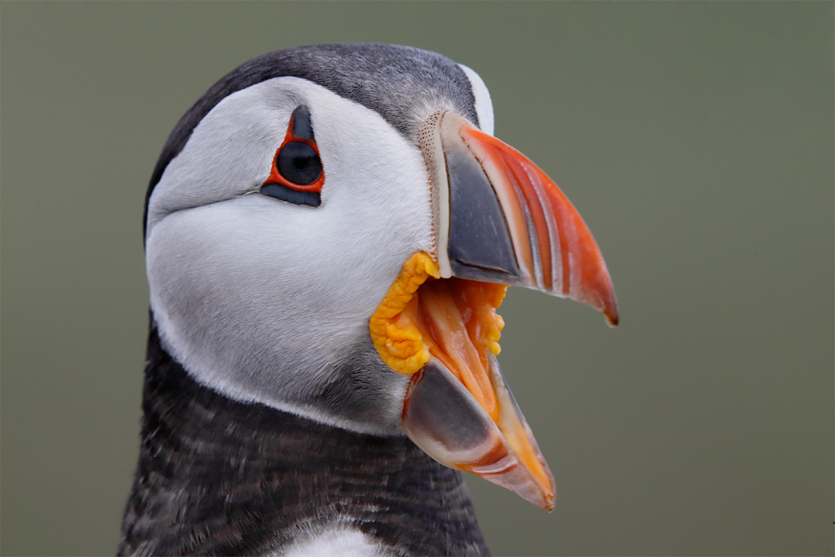 atlantic-puffin-vocalizing-_y5o5028-seabird-islands-off-seahouses-uk