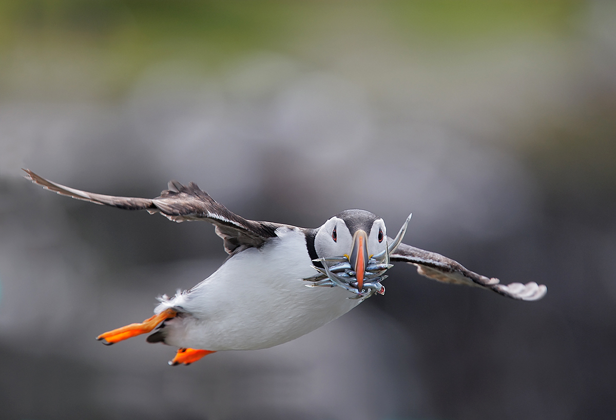 atlantic-puffin-w-fish-in-flight-_o0w1062-isle-of-may-scotland