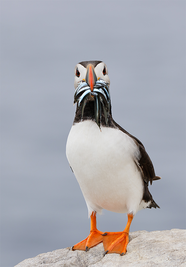 atlantic-puffin-with-baitfish-_y8a0247-seabird-islands-off-seahouses-uk