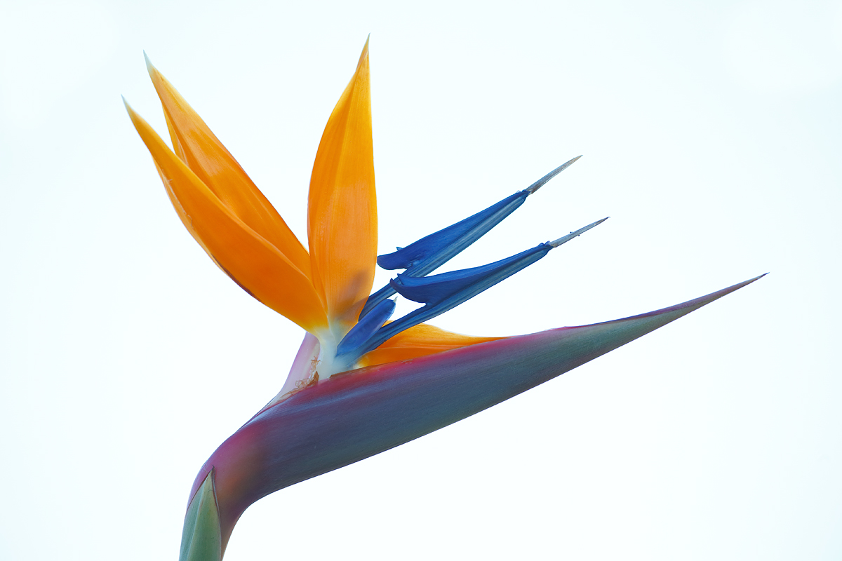 bird-of-paradise-flower-high-key-_y5o3027-coronado-ca