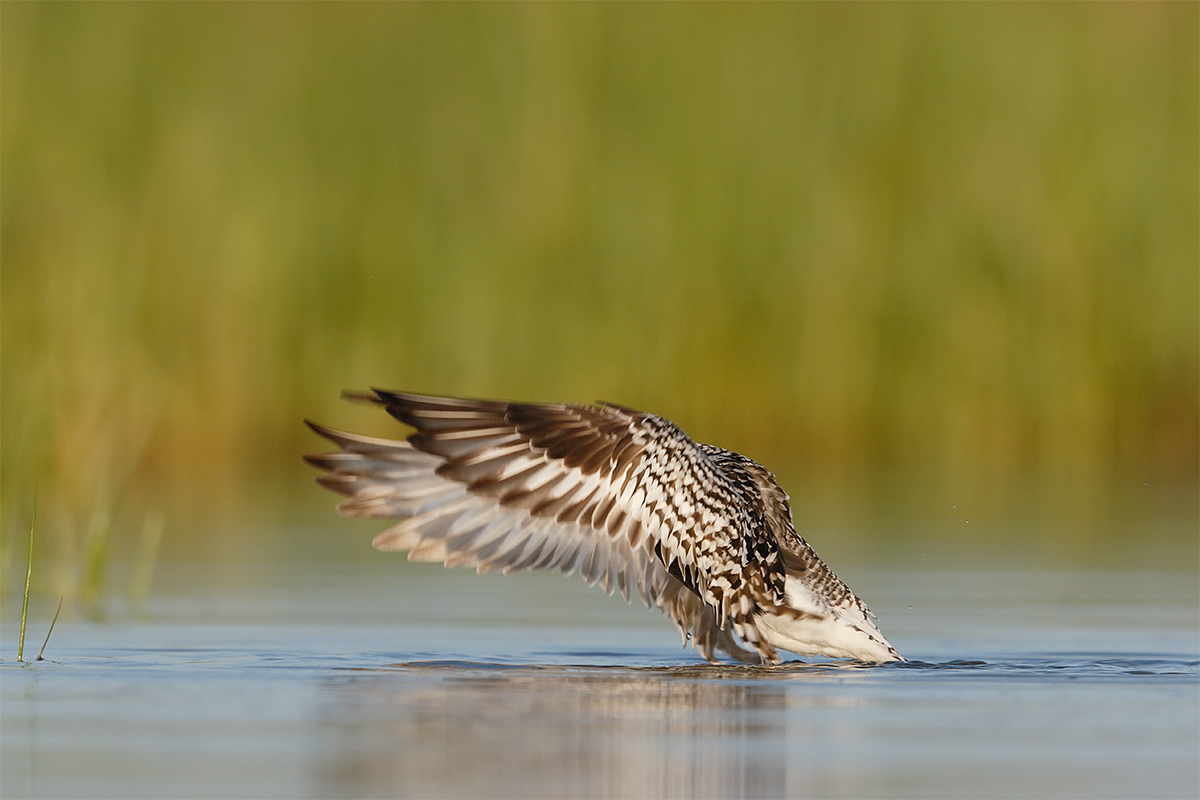 black-bellied-plover-breeding-plumae-flapping-after-bath-no-head-_y8a7497-fort-desoto-park-fl