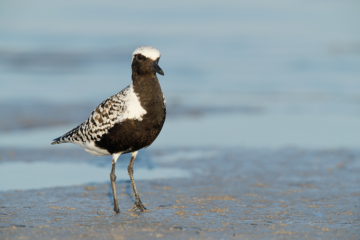 black-bellied-plover-breeding-plumage-_a0i2499-fort-desoto-park-pinellas-county-fl