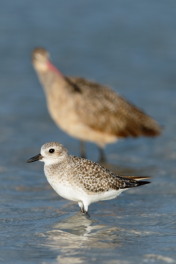 black-bellied-plover-mago-juxt_36a7971-fort-desoto-county-park-pinellas-fl
