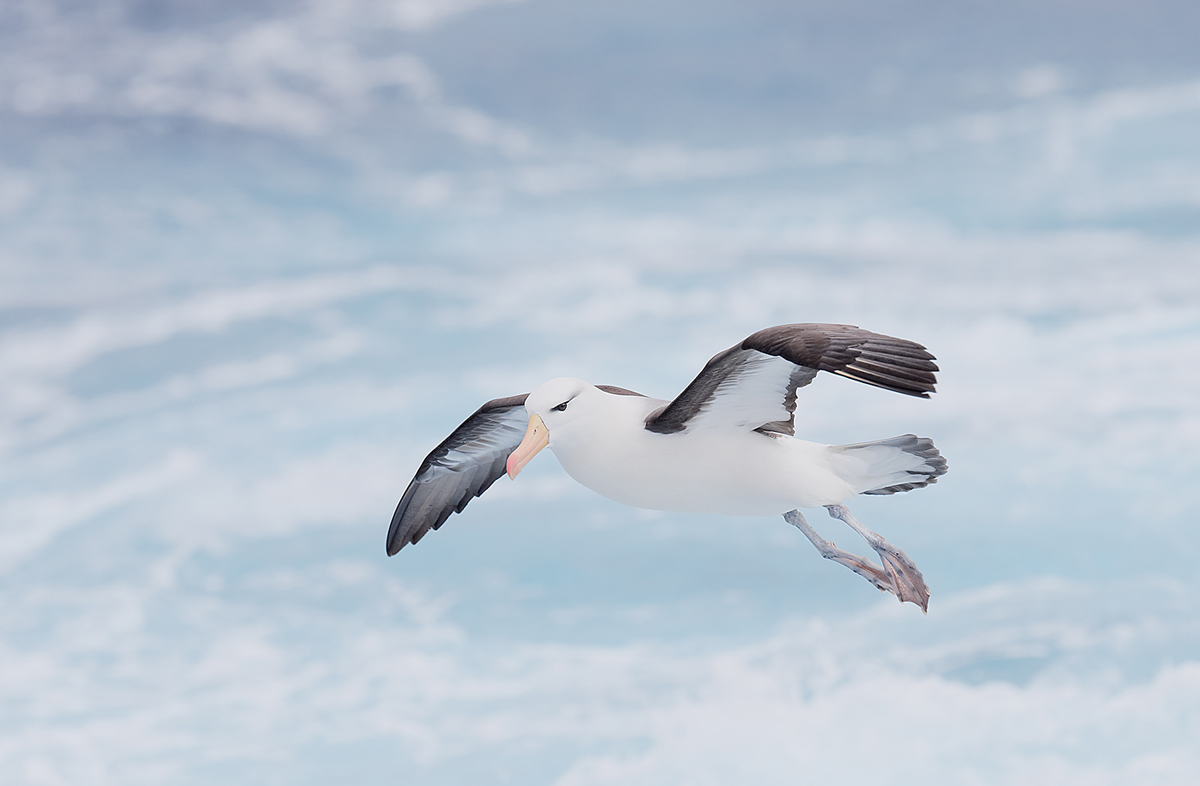 black-browed-abatross-above-sea-_q8r8378-scotia-sea-southern-ocean