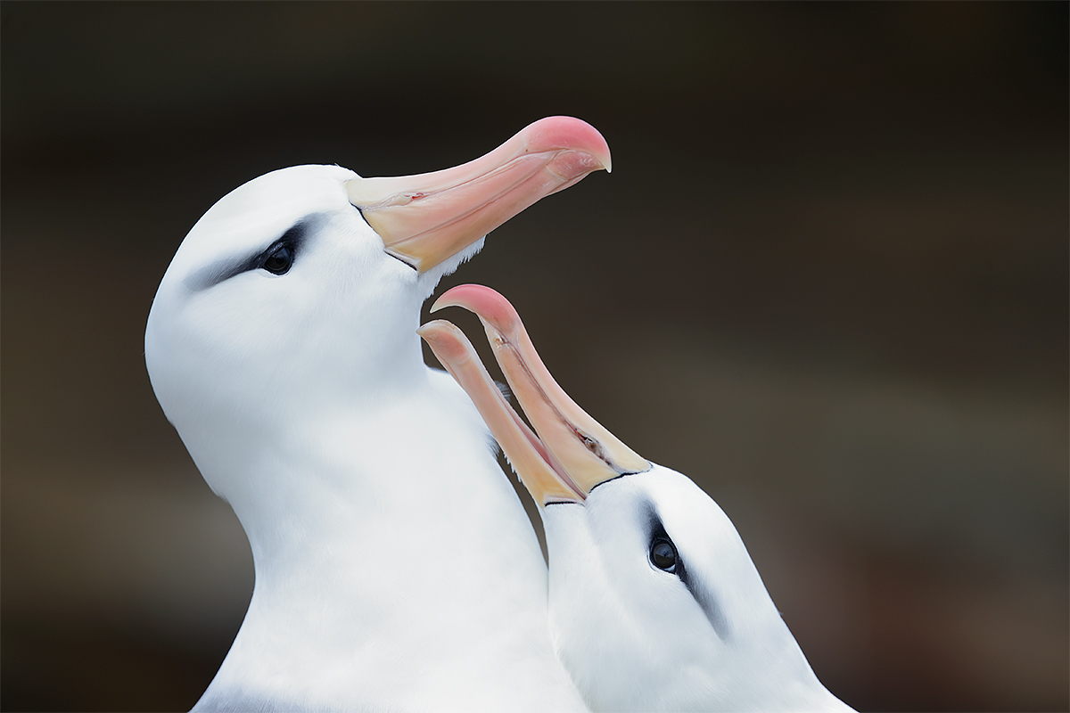 black-browed-albatross-courtship-_y5o6525-the-rookery-saunders-island-the-falklands