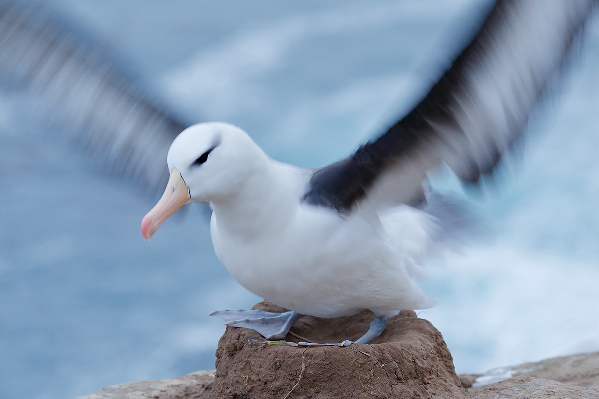 black-browed-albatross-flapping-in-place-on-nest-_y5o8367-the-rookery-saunders-island-the-falklands