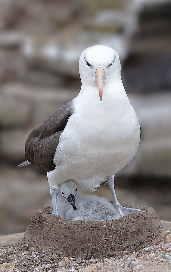 black-browed-albatross-on-nest-with-chick-_w3c1192-new-island-falkland-islands