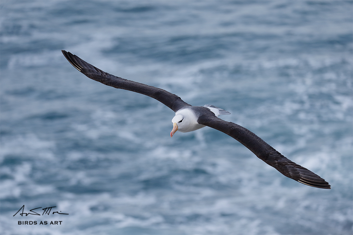 black-browed-albatross-sig_y5o8050-the-rookery-saunders-island-the-falklands