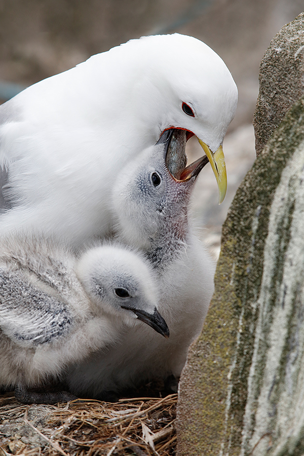 black-legged-kittiwake-a-chick-feeding-_t0a0667-seahouses-uk
