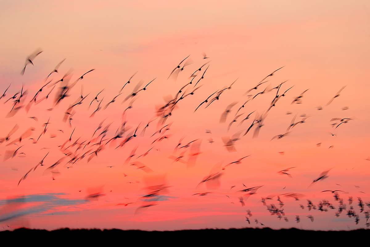 black-skimer-flock-in-pre-dawn-_y7o9526-jones-beach-li-ny