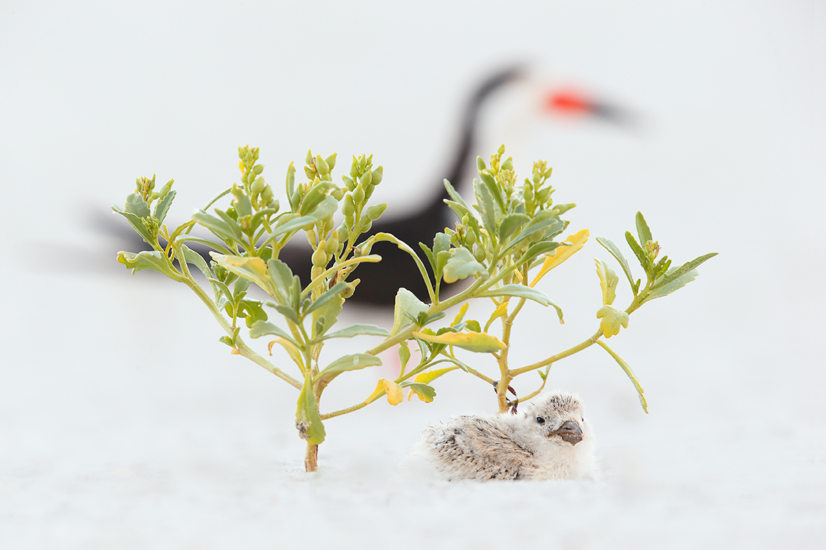 black-skimmer-adult-and-chick-sea-rocket_y7o4831-nickerson-beach-li-ny
