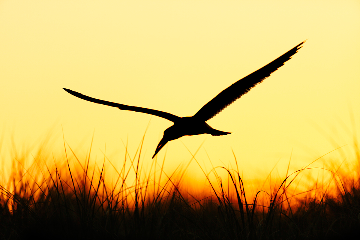 black-skimmer-at-dawn-_a1c7309-nickerson-beach-point-lookout-ny