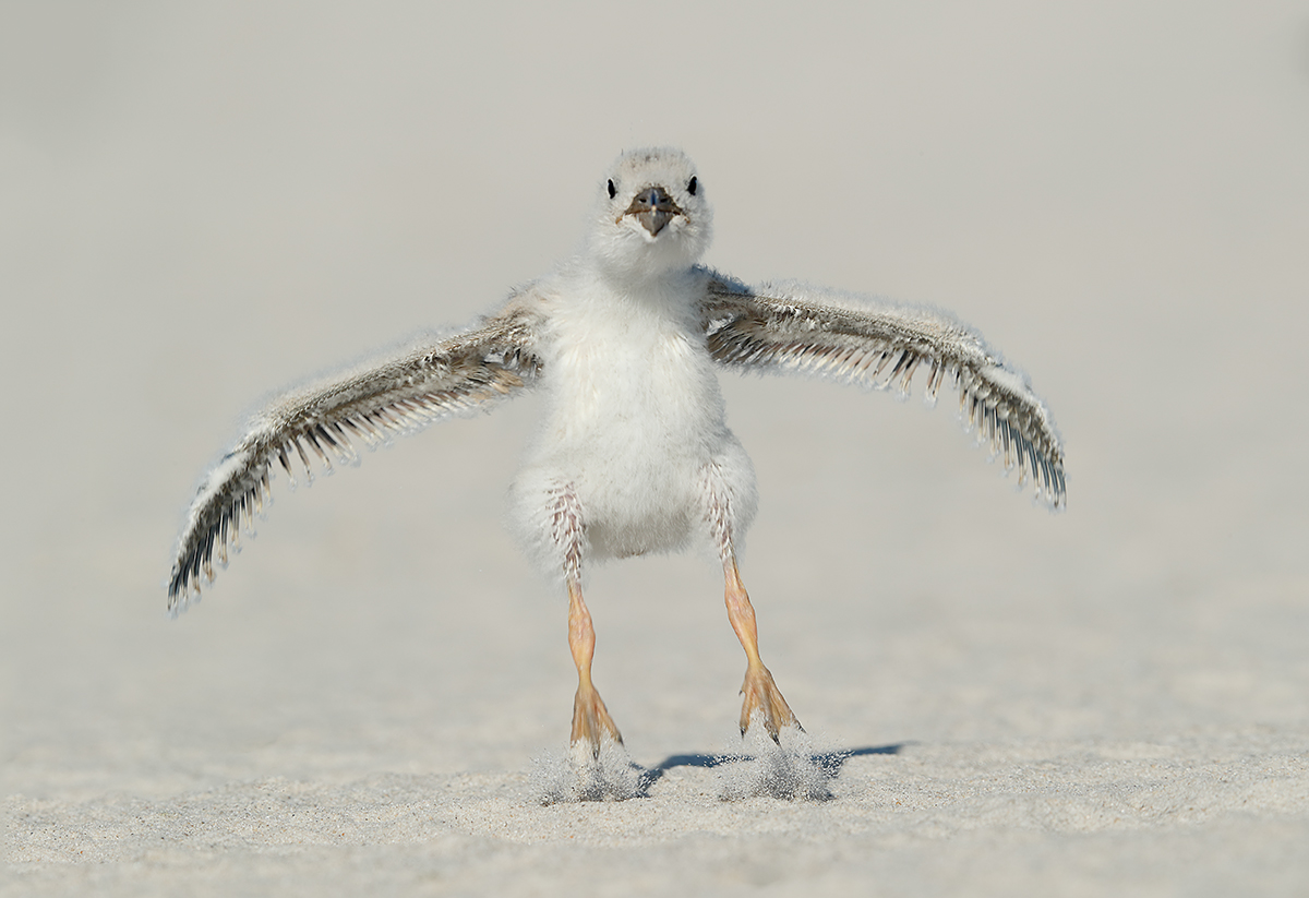 black-skimmer-chick-flapping-in-place