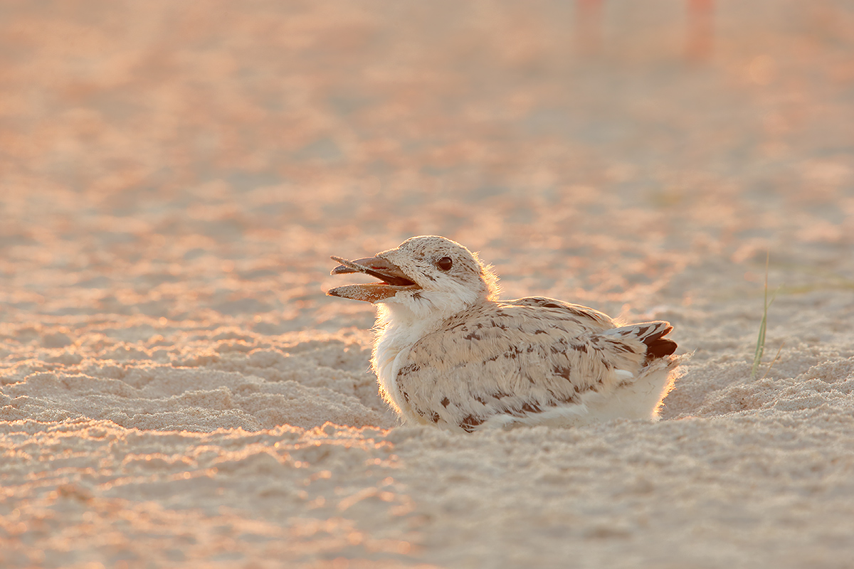 black-skimmer-chick-holding-small-stick-at-dawn-_y7o6688-nickerson-beach-li-ny