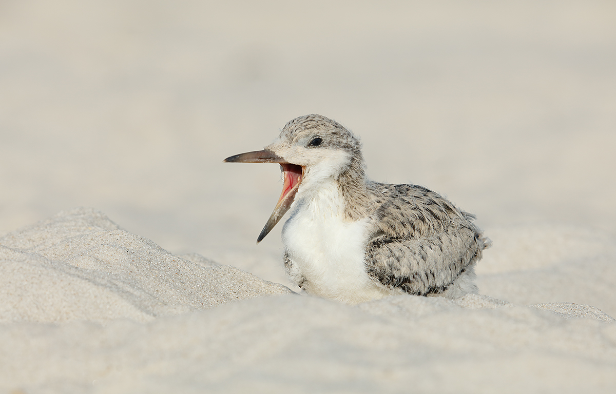black-skimmer-large-chick-yawning-_t0a5444-nickerson-beach-li-ny