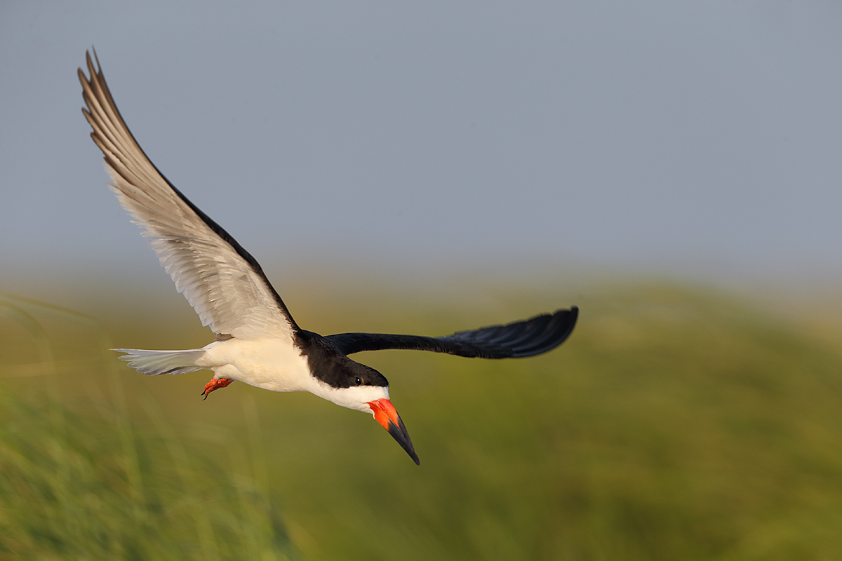 black-skimmer-low-over-dune-grasses-_y5o0400-nickerson-beach-li-ny