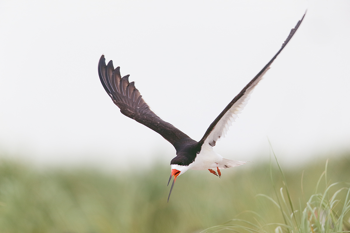 black-skimmer-ready-to-land-_y5o8509-nickerson-beach-li-ny