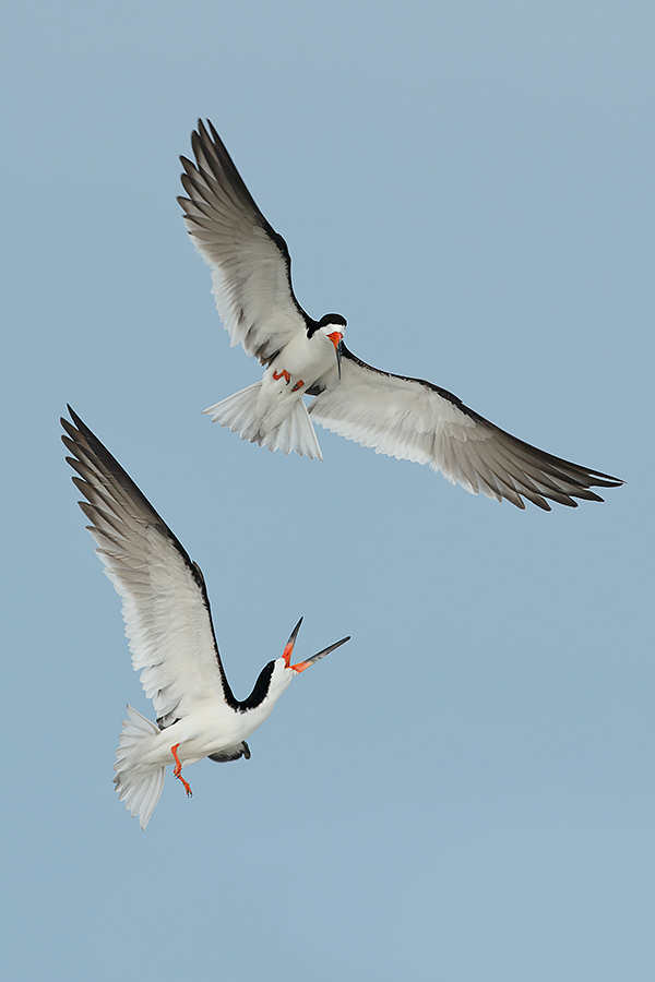 black-skimmers-battling-wing-tips-repaired-_a0i6827-nickerson-beach-li-ny