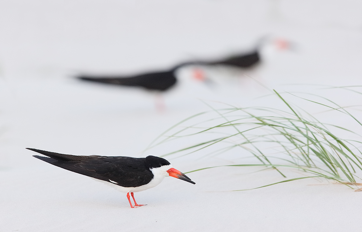 black-skimmers-on-beach-_y7o0549-nickerson-beach-li-ny