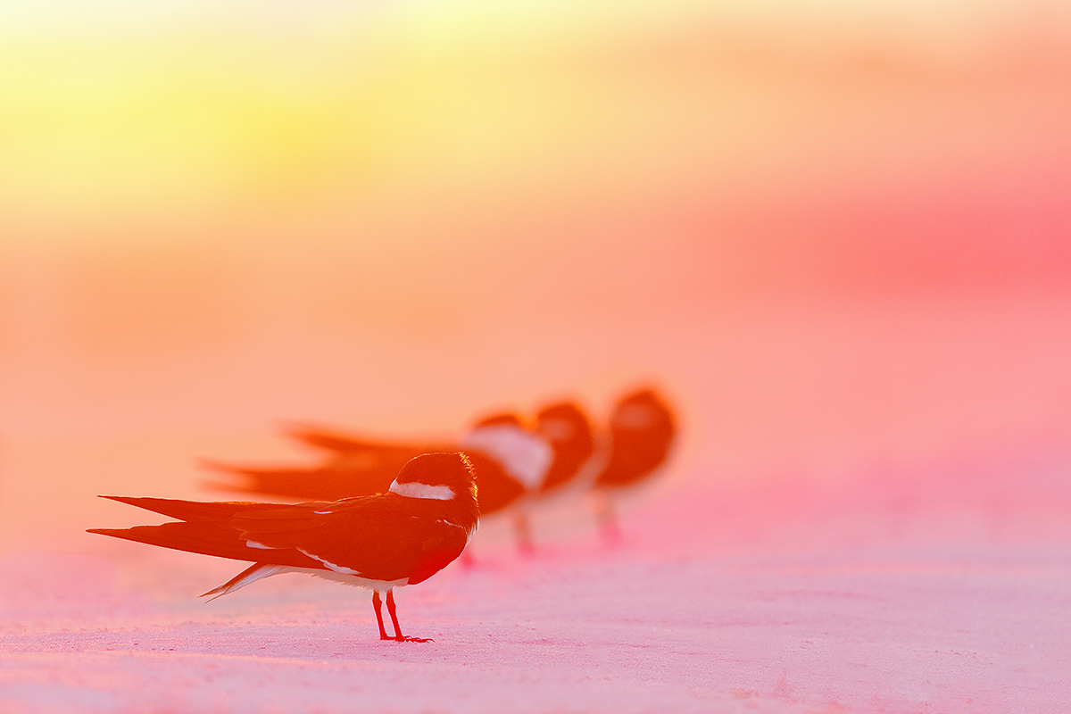 black-skimmers-on-beach-foggy-sunrise-a-_a1c9604-nickerson-beach-li-ny