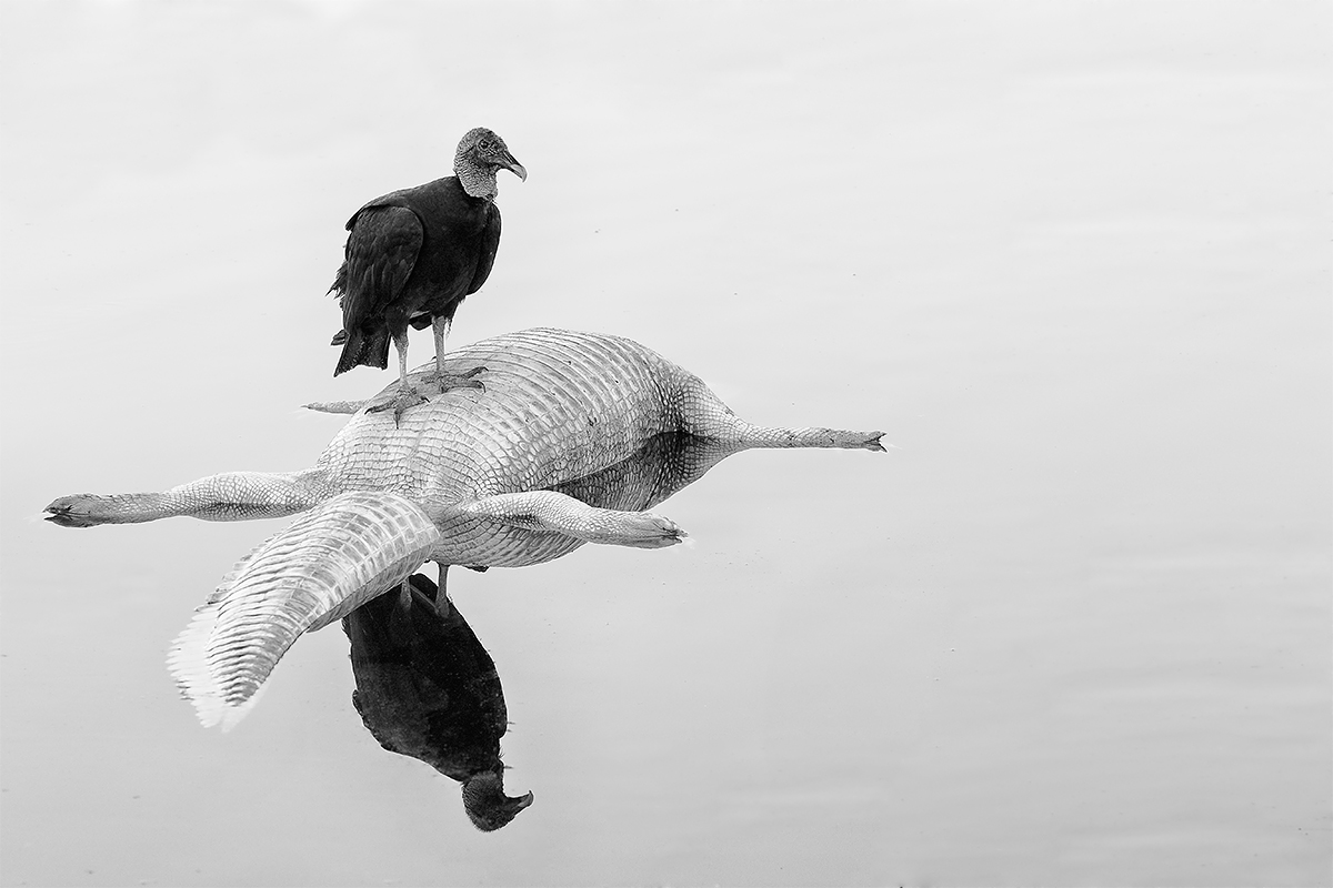 black-vulture-bw-high-structure-smoth-on-american-alligator-carcass-_36a3056-indian-lake-estates-fl