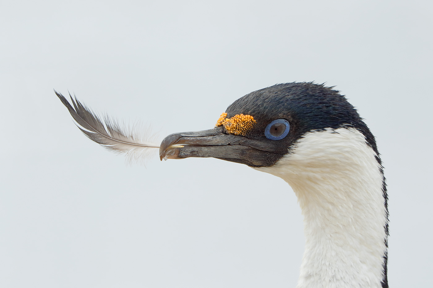 blue-eyed-shag-with-feather-_y8a7957-jougla-point-antarctica