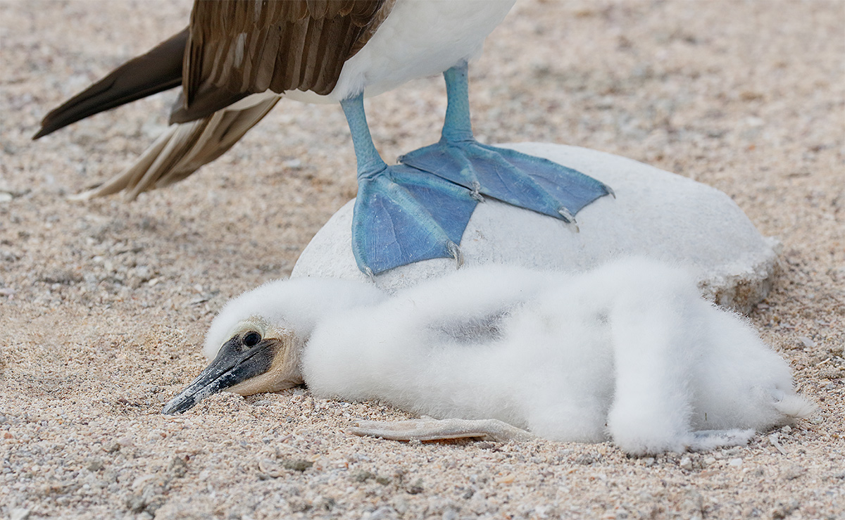 blue-footed-booby-large-chick-in-nest-showing-feet-of-adult-_y8a0960-north-seymour-island-galapagos-ecuador