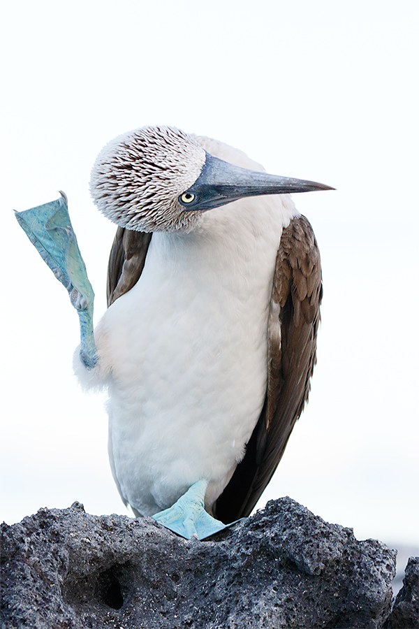 blue-footed-booby-scratching-head-_y8a7450-punta-mangle-fernandina-galapagos-ecuador