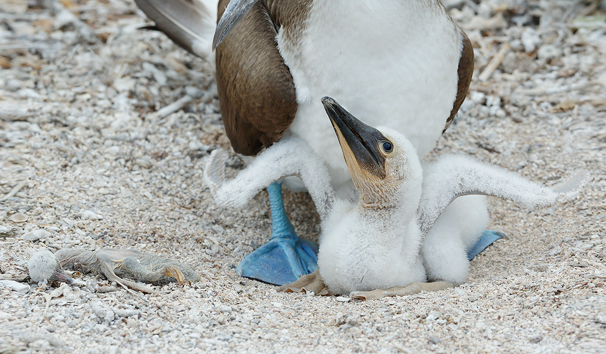 blue-footed-booby-with-chick-and-dead-chick-_a1c1641-isla-lobos-galapagos