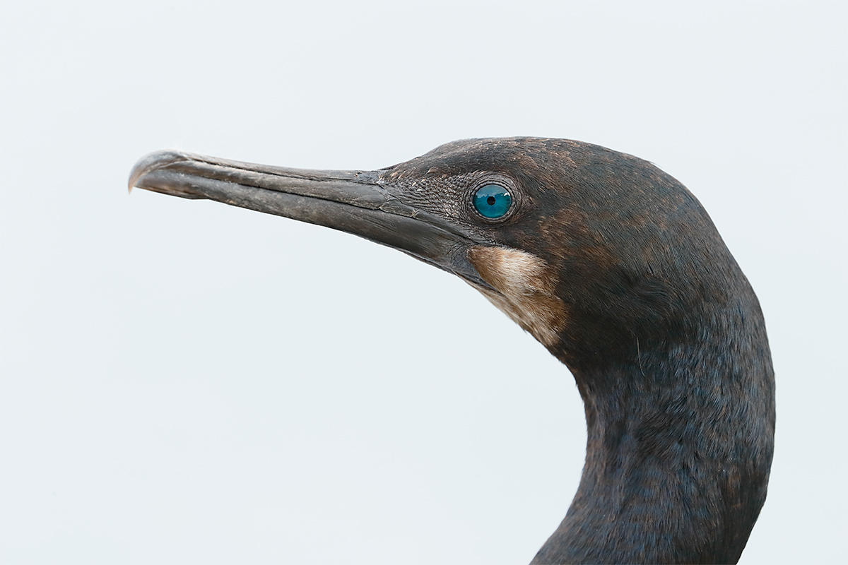 brandts-cormorant-crop-non-breeding-head-portrait