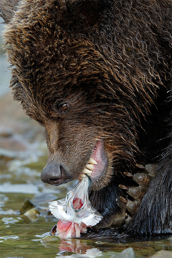 brown-bear-face-tight-eating-salmon-_y5o1068-geographic-harbor-katmai-national-park-ak